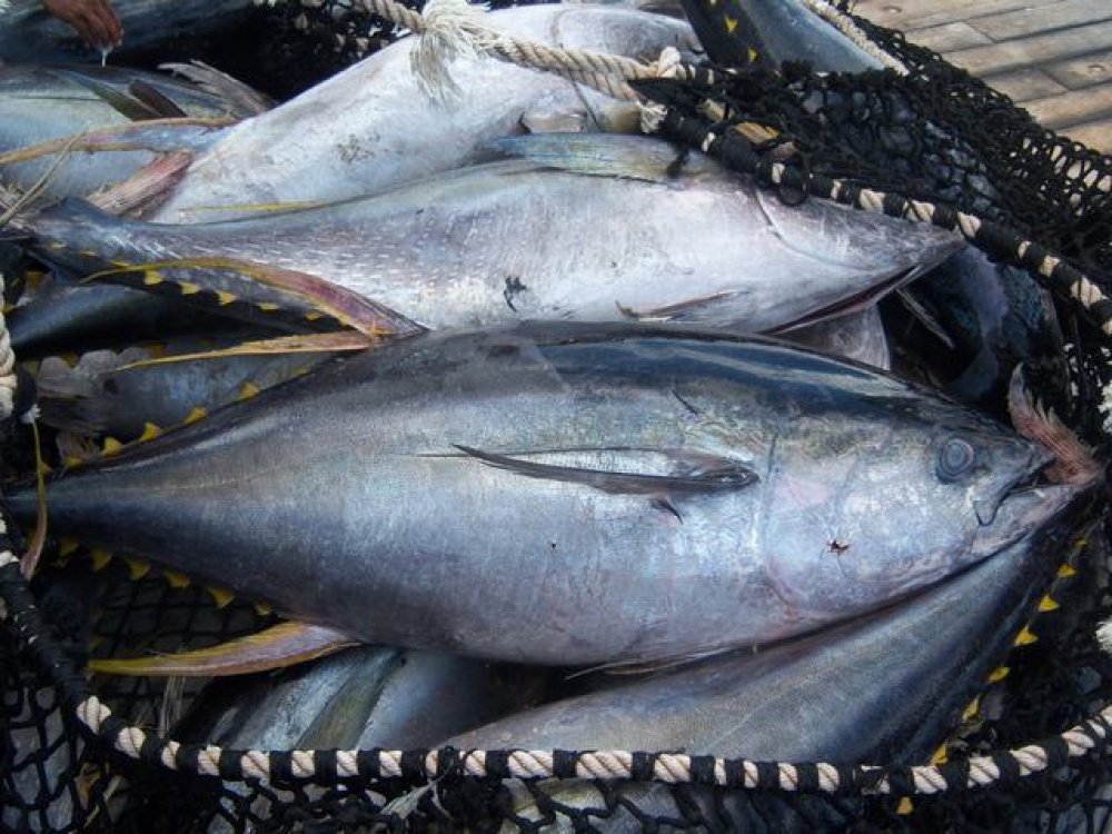 Echebastar high quality tuna fish for Tuna fish can